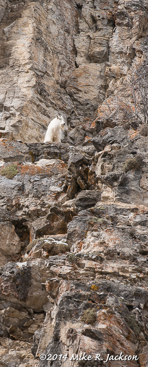 Web Mtn Goat Ledge Mar27
