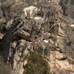 Web Mtn Goats Watching Mar8