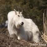 Web Nanny Goat Mar8