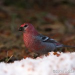 Web Pine Grosbeak On Snow Mar7
