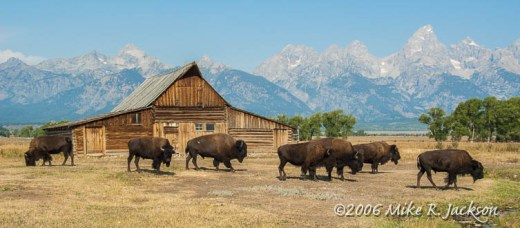 Moulton Barn and Bison 2006