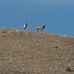 Web Elk Boyles Hill Apr10