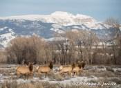 Web Elk Sleeping Indian Apr8