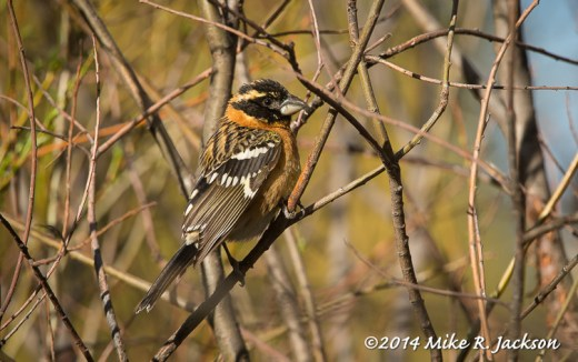 Web_BlackheadedGrosbeak_May19