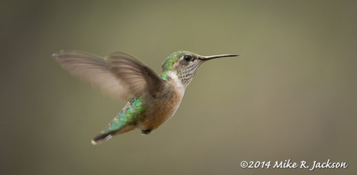 Web_CaliopeHummer_May22
