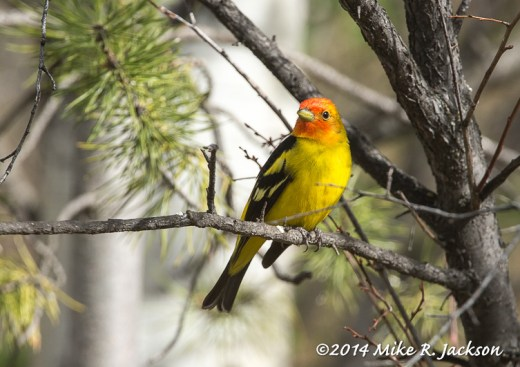 Web_EarlyTanager_May15