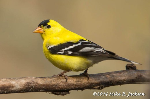 American Goldfinch - May 8