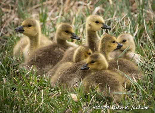 Web_GooseChicks_Group_May16