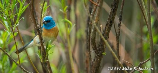 Web Lazuli BuntingMay28