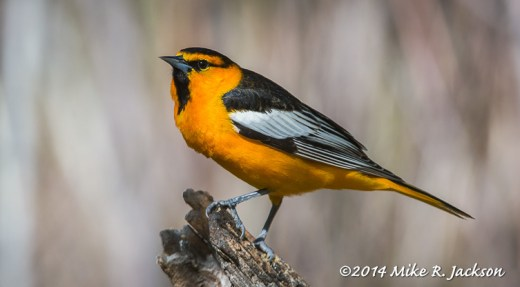 Web_Oriole_May22
