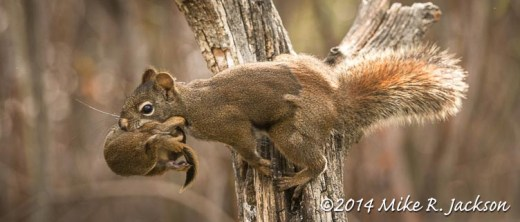 Web_RedSquirrelTransport_May20