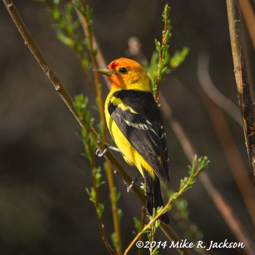 Web_WesternTanager_May22