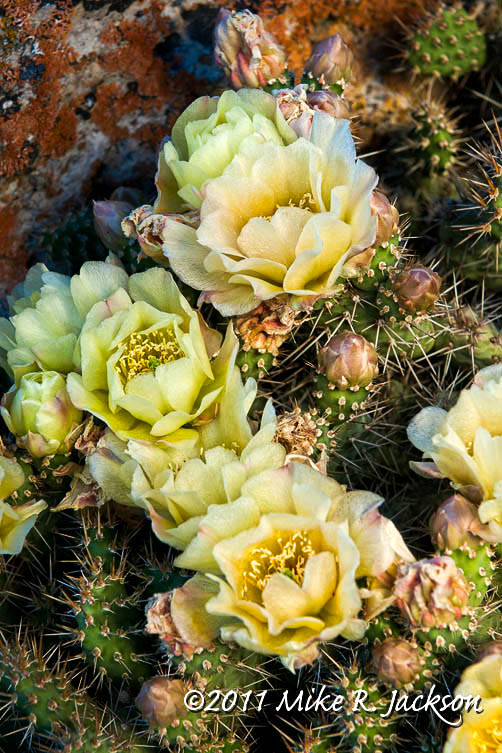 CactusFlowers3_July21