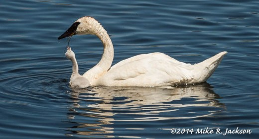 Cygnet Getting an Easy Meal - July 8
