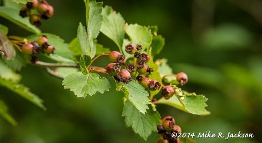 Changing Black Hawthorne Berries