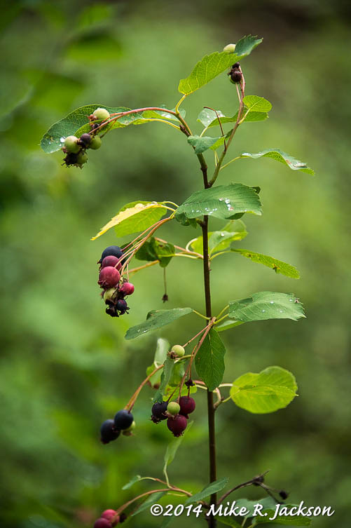 Cascade Canyon Ripening Berries