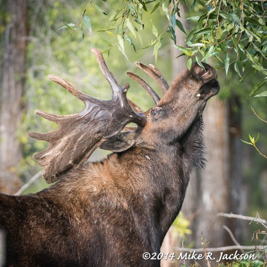 Bull Moose Reaching for Willows