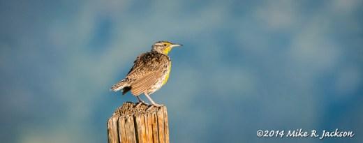 Late Summer Meadowlark