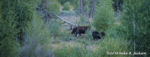 Moose On The Gros Ventre