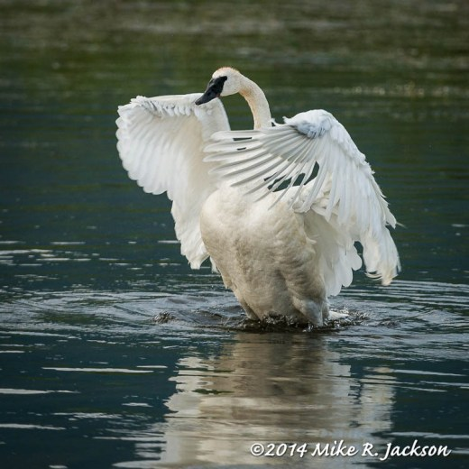Stretching Adult Swan - July 30