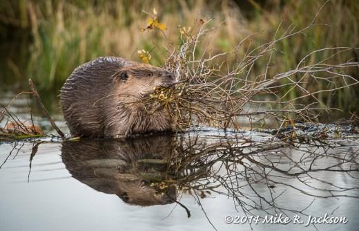 Beaver at a Dam