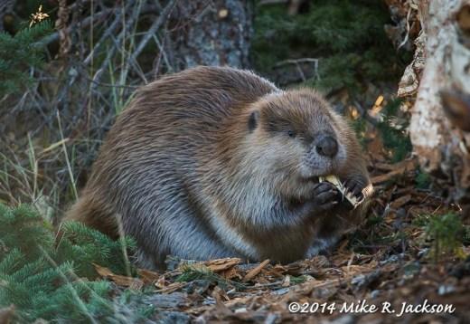 Beaver Snacking
