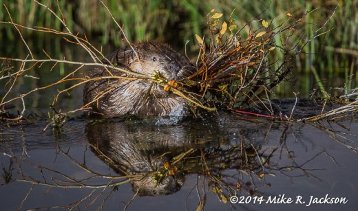 Reflected Beaver
