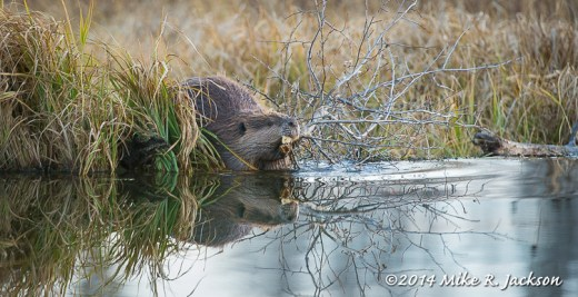Beaver with a Branch