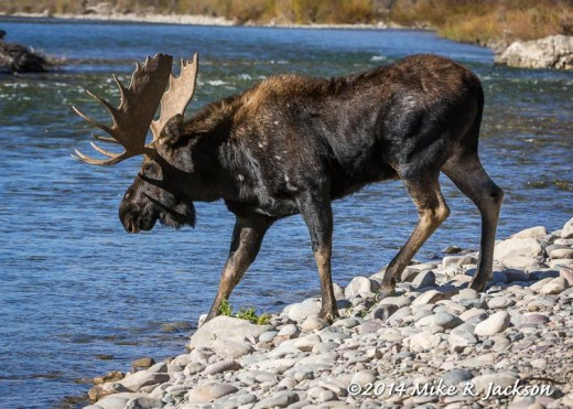Bull Moose Entering the River