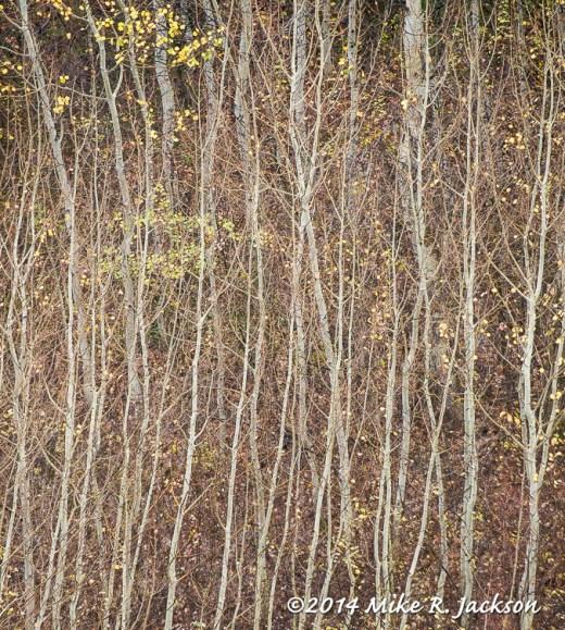 Fine Aspen Branches