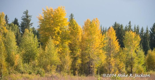 Gros Ventre Trees