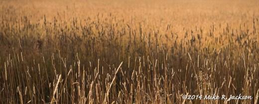 Stalks of Golden Grass