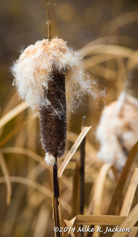 Late Season Cattail