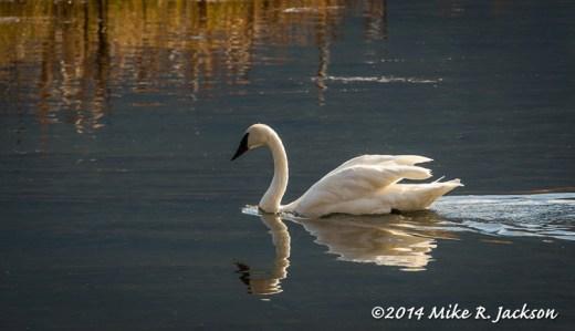Morning Swan