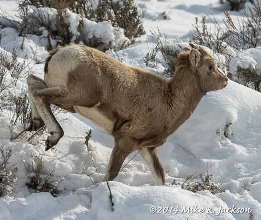 Bighorn Lam Running