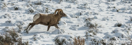 Young Bighorn Ram at Miller Butte