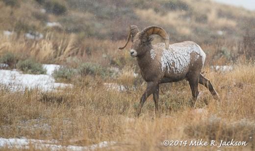 Snow Coated Ram