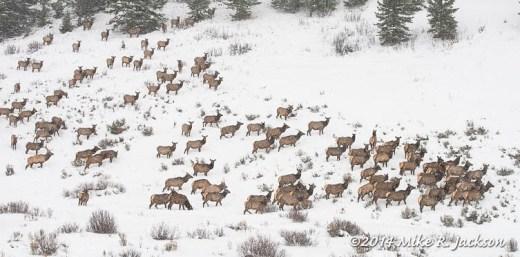 Nervous Elk Herd