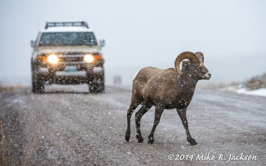 Ram in the Headlights