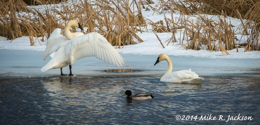 Stretching Trumpeter Swan