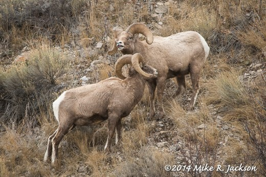 Two Rams