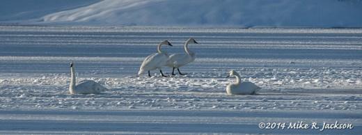 Walking Swans