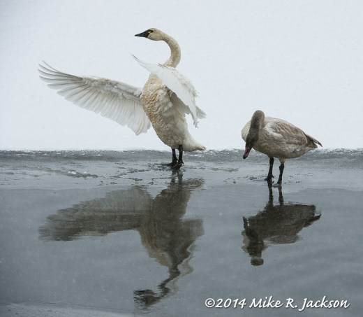 Tundra Swan and Cygnet