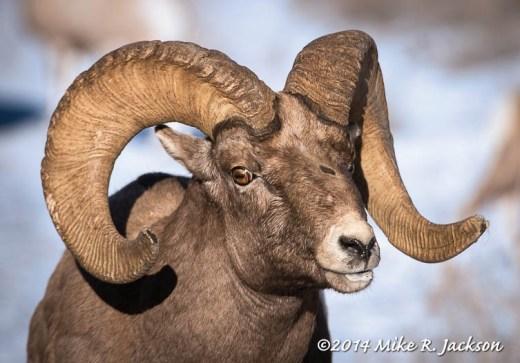 Bighorn Ram December 23