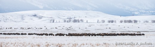 Bison Herd and Distant Elk