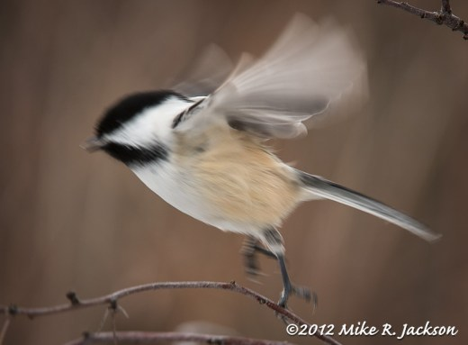 Mountain Chickadee Taking Off