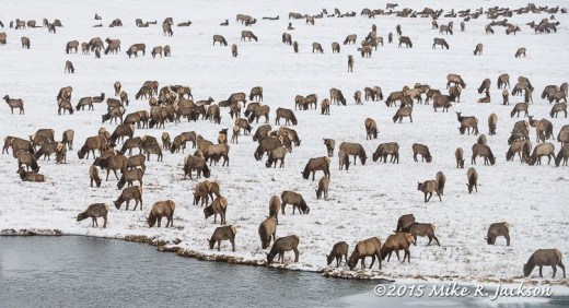 Elk Herd by the Warm Springs