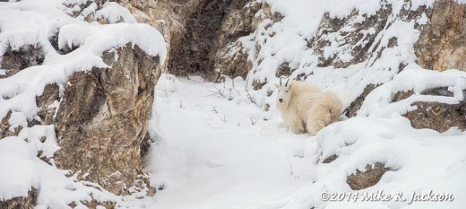 Mountain Goat in Storm
