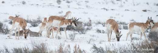 Wintering Pronghorns