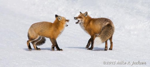 Fox Meeting